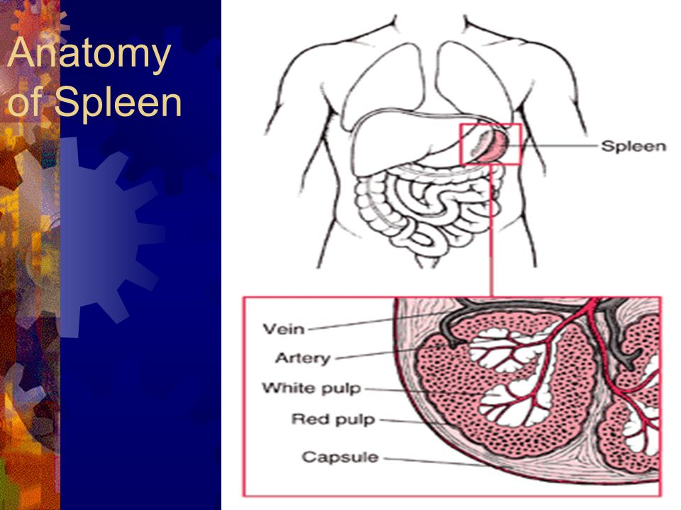 The Spleen. Anatomy of Spleen White Pulp Spleen Structure The white ...