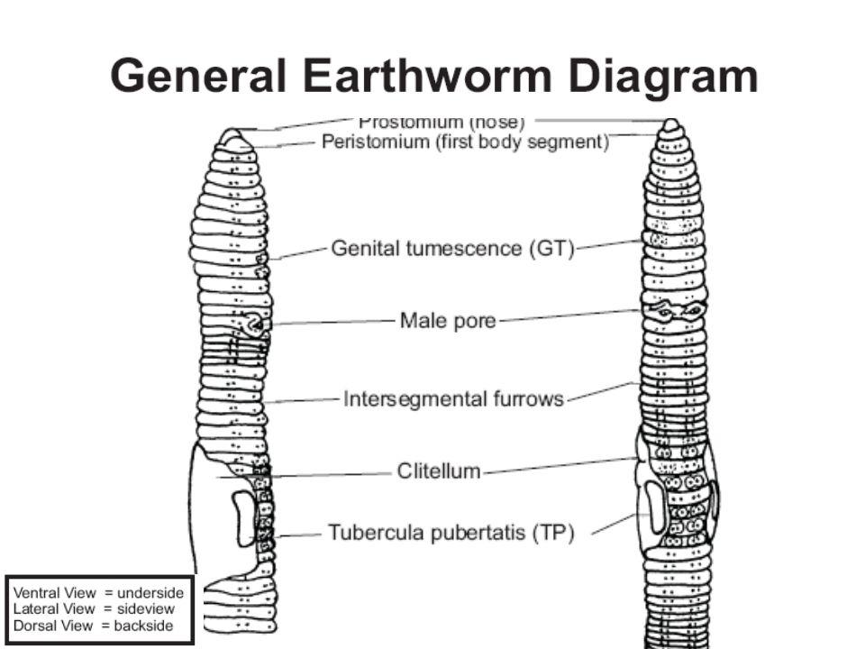 Earthworm dissection Lumbricus terrestris - ppt video online download