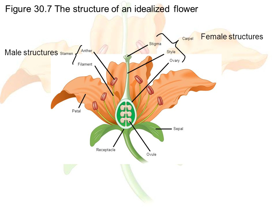 Figure 30.7 The structure of an idealized flower Anther Filament Stigma Style Ovary Carpel Petal Receptacle Ovule Sepal Stamen Female structures Male structures