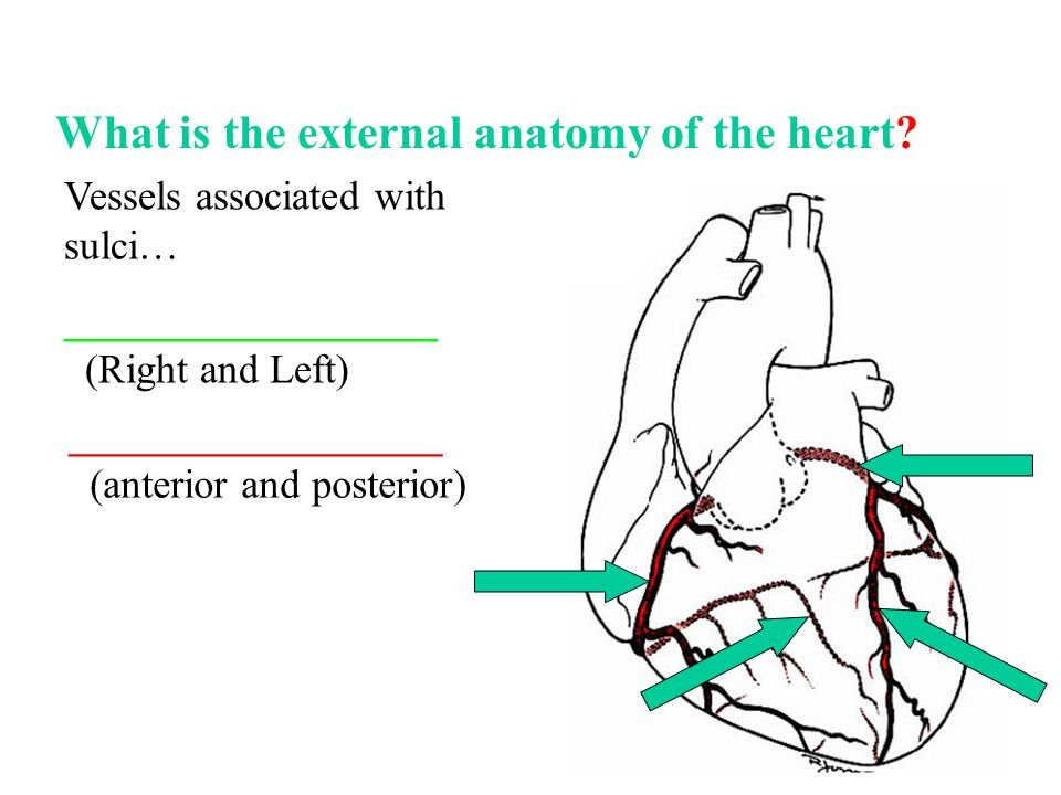 Biol 2030 Human Anatomy Physiology Ii What Is The Function Of The