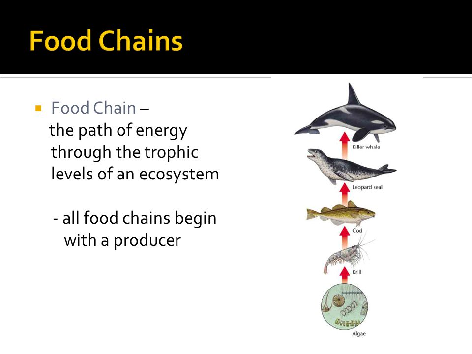  Food Chain – the path of energy through the trophic levels of an ecosystem - all food chains begin with a producer