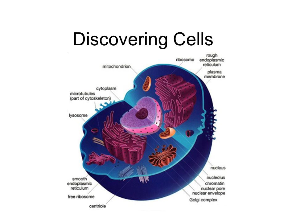 Discovering Cells. Cell Pronunciation: (How to say it) [Sel ...