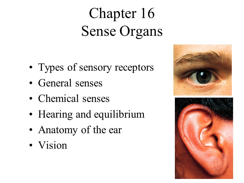 Chapter 16 sense organs types of sensory receptors general senses 1 chapter 16 sense organs types of sensory receptors general senses chemical senses hearing and equilibrium anatomy of the ear vision ccuart Image collections