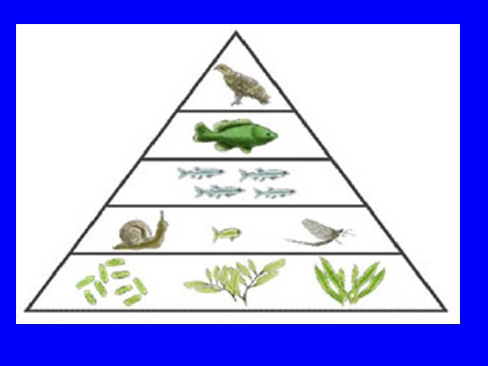 Energy PyramidAn Energy Pyramid shows the amount of energy that moves from one feeding level to another in a food web.