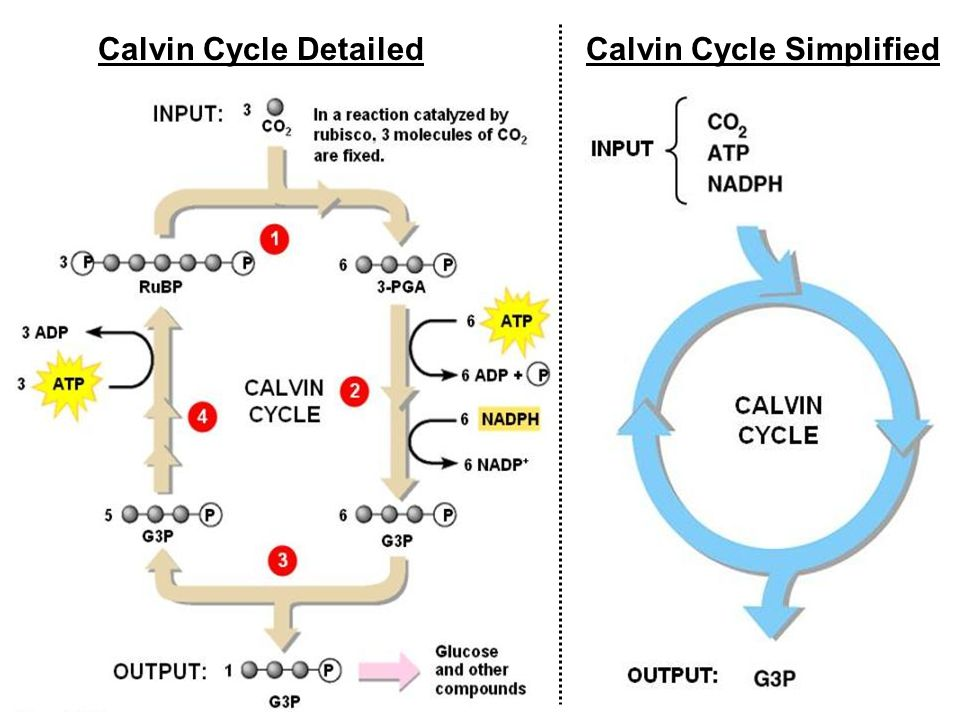 The Calvin Cycle Photosynthesis Stage 2 The Reduction Of Co 2 To