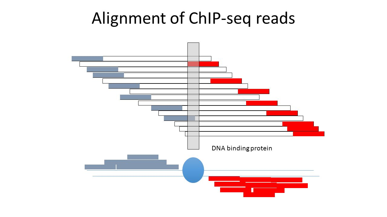 Alignment of ChIP-seq reads DNA binding protein