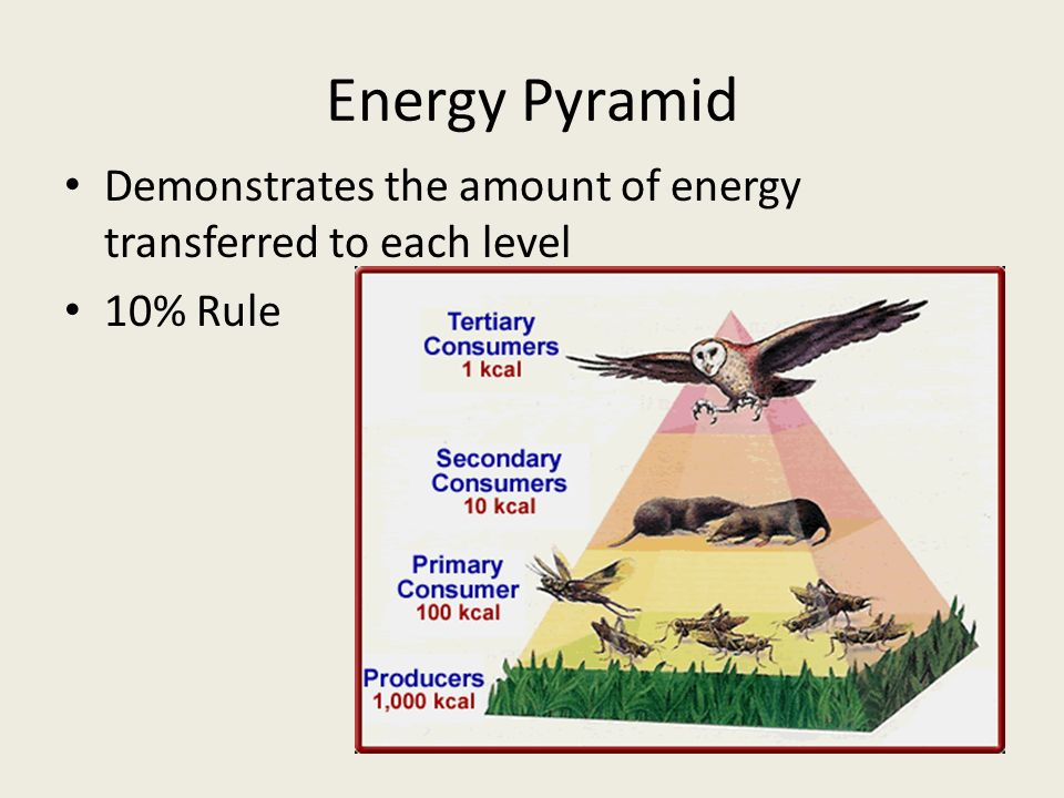 Energy Pyramid Demonstrates the amount of energy transferred to each level 10% Rule