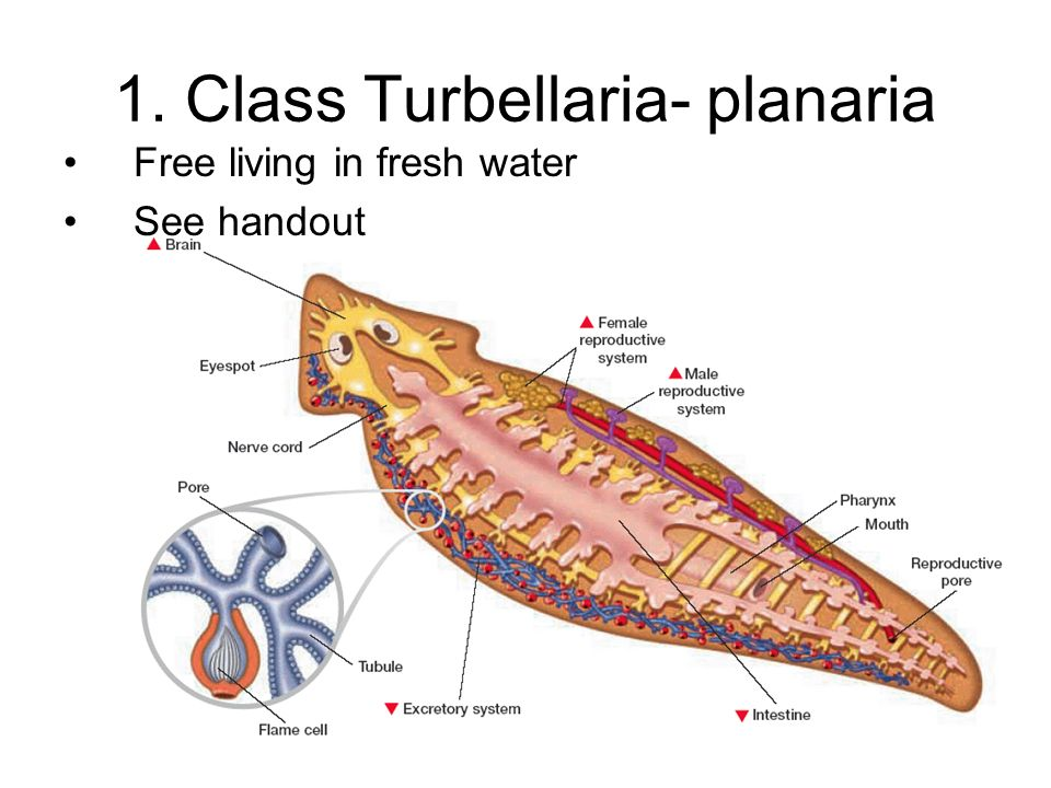 Old Fashioned Anatomy Of Planaria Photo - Anatomy And Physiology ...