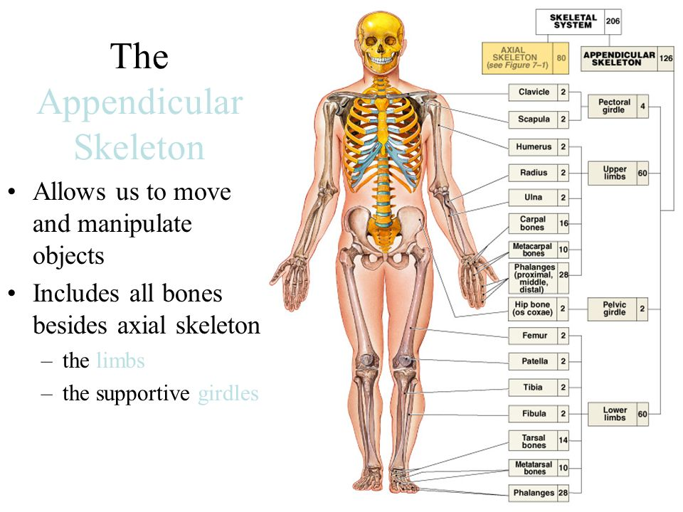 The Appendicular Skeleton Allows Us To Move And Manipulate Objects