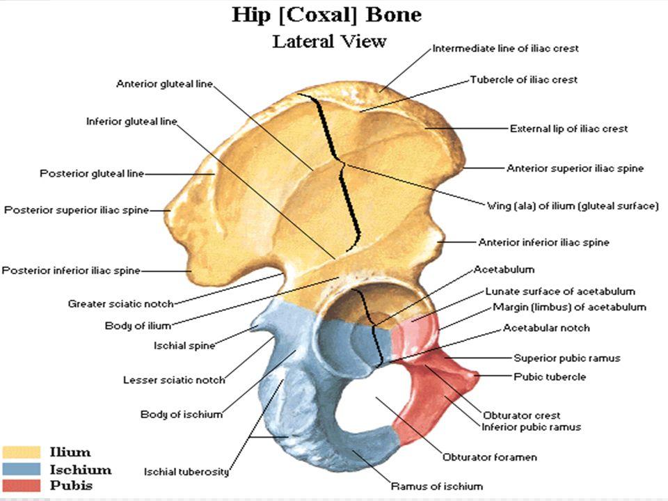 superior most margin of the coxal bone