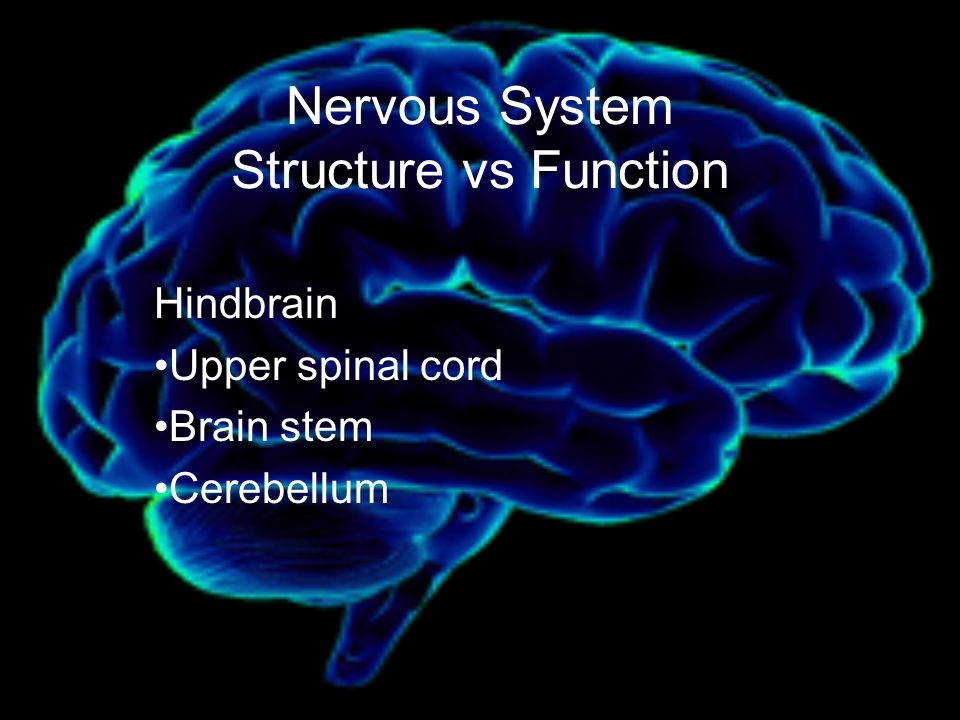 Nervous System Structure vs Function Hindbrain Upper spinal cord Brain stem Cerebellum