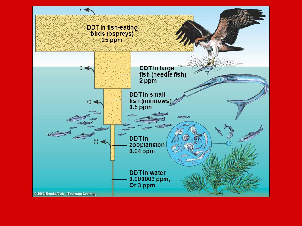 DDT in fish-eating birds (ospreys) 25 ppm DDT in large fish (needle fish) 2 ppm DDT in small fish (minnows) 0.5 ppm DDT in zooplankton 0.04 ppm DDT in water ppm, Or 3 ppm