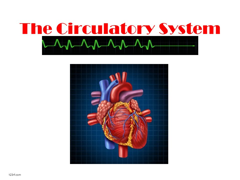 The Circulatory System 123rf.com. Where is your heart located? Many ...