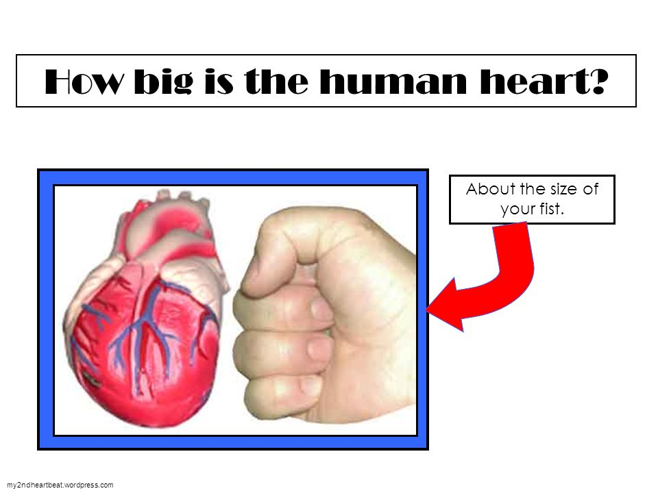 The Circulatory System 123rf Where Is Your Heart Located Many