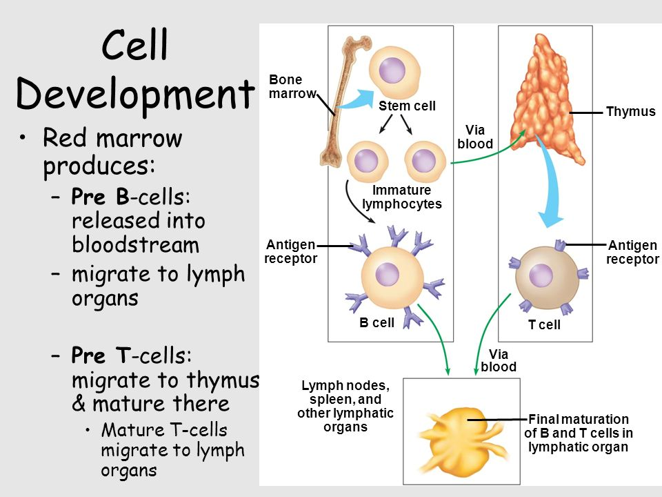Cell Development Red marrow produces: –Pre B-cells: released into bloodstream –migrate to lymph organs –Pre T-cells: migrate to thymus & mature there Mature T-cells migrate to lymph organs Lymph nodes, spleen, and other lymphatic organs Final maturation of B and T cells in lymphatic organ Via blood T cell B cell Via blood Antigen receptor Thymus Antigen receptor Immature lymphocytes Stem cell Bone marrow