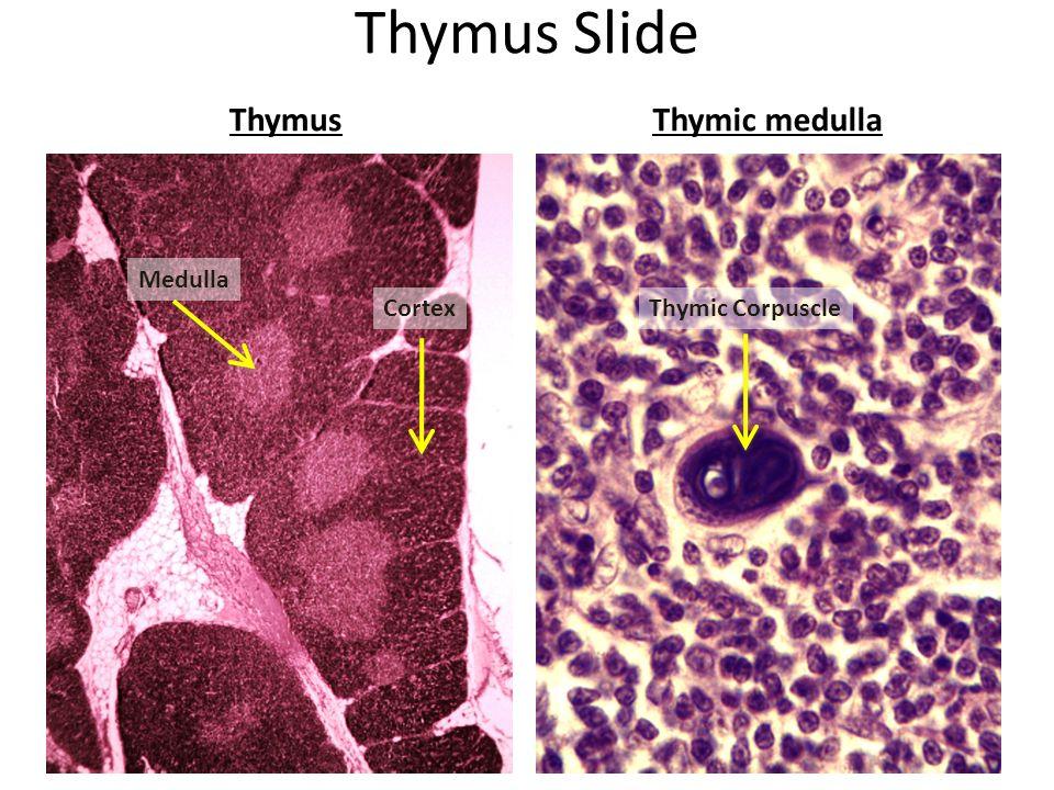 Lymphatic System Thymus Immune Booster Thymus Slide Thymusthymic