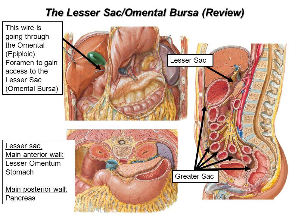 Liver Christopher Ramnanan Phd Dept Of Cellular And Molecular