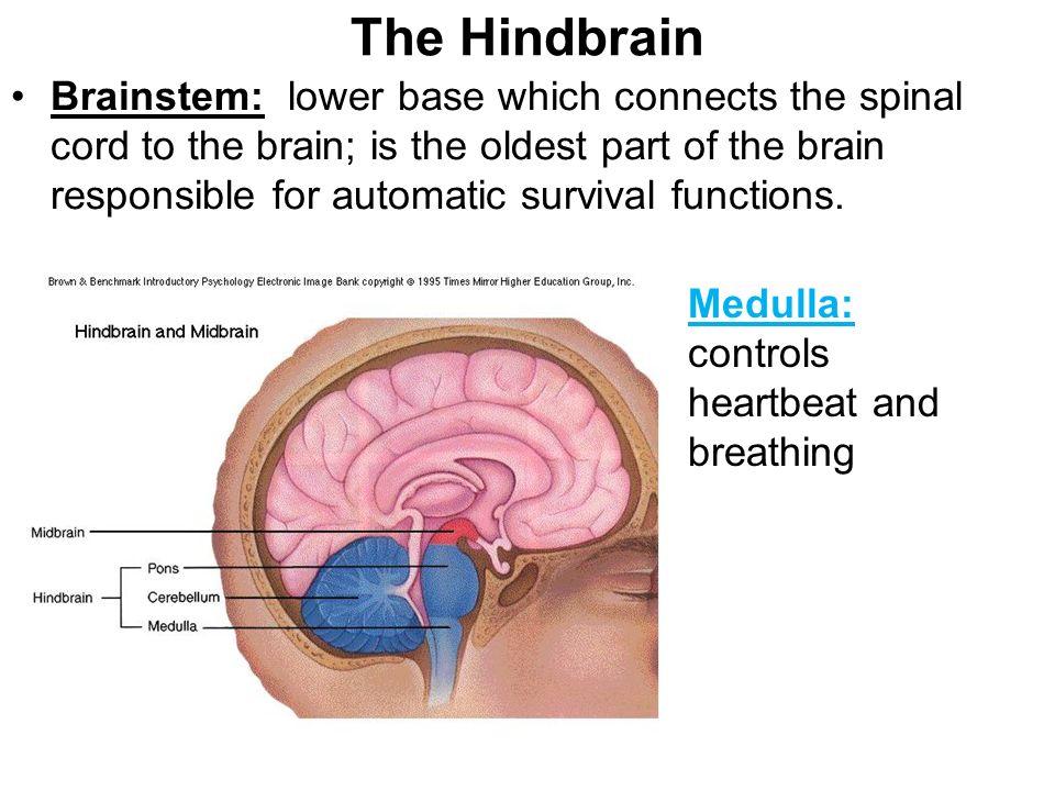 The Brain Regions Of The Brain Hindbrain Medulla Pons Reticular