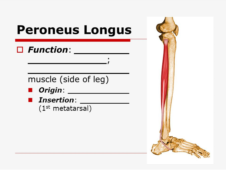 Muscles Of The Hip Leg Foot Name Period Hip Gluteus