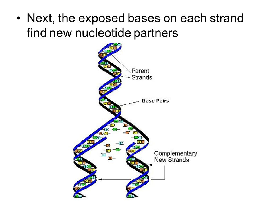 Next, the exposed bases on each strand find new nucleotide partners
