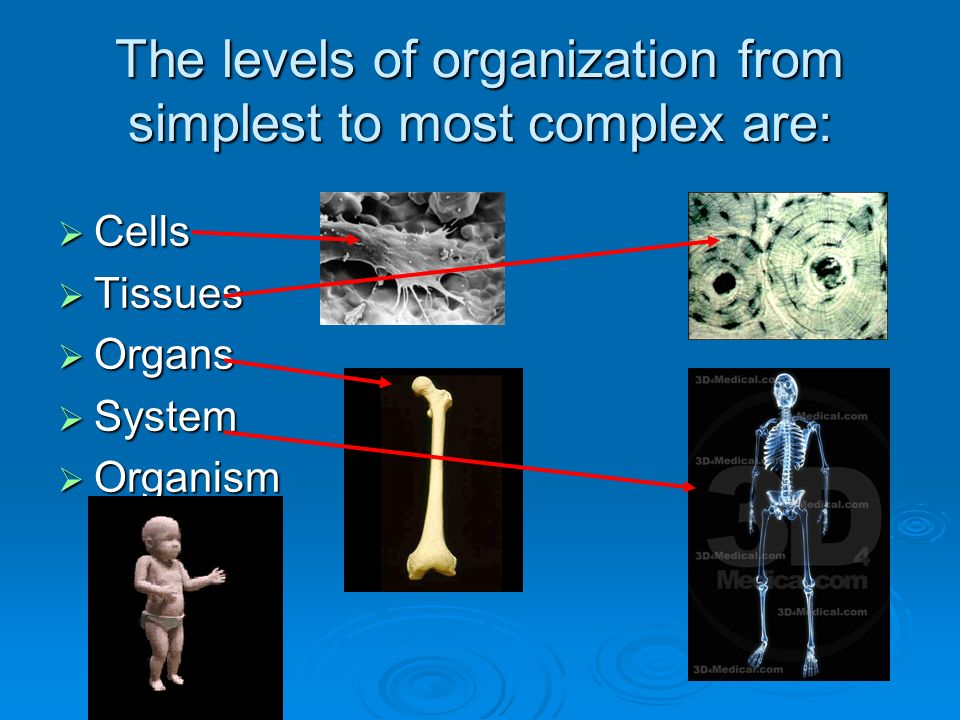 The levels of organization from simplest to most complex are:  Cells  Tissues  Organs  System  Organism