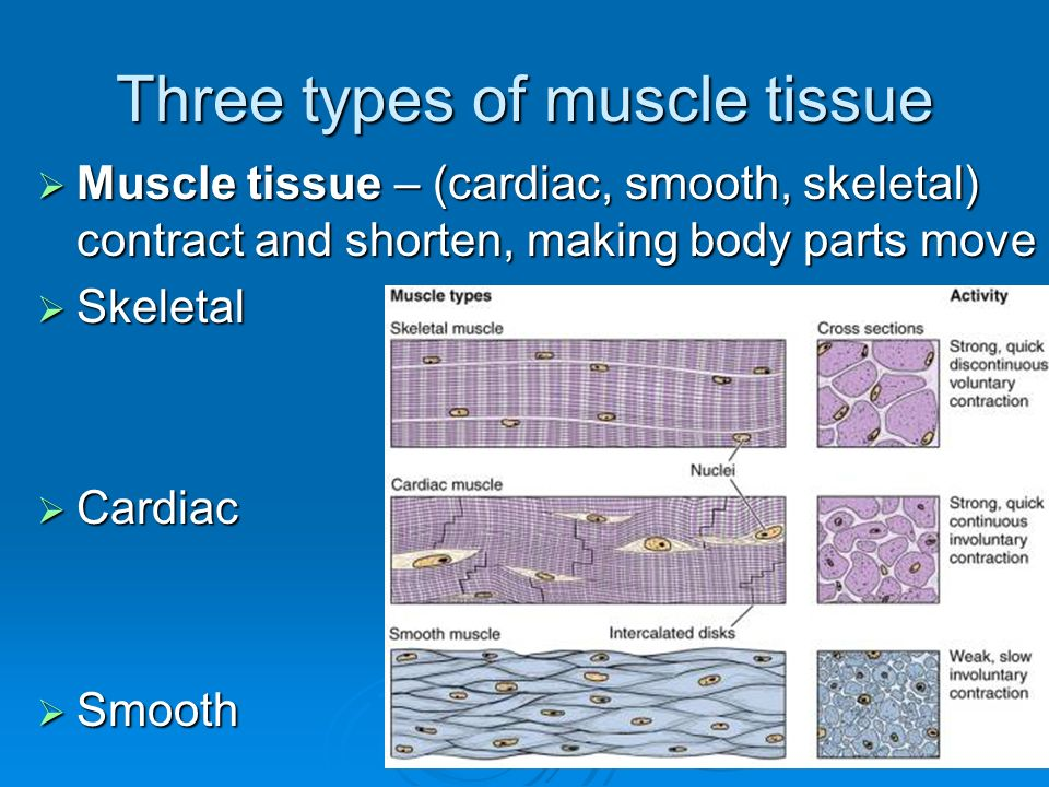 Three types of muscle tissue  Muscle tissue – (cardiac, smooth, skeletal) contract and shorten, making body parts move  Skeletal  Cardiac  Smooth