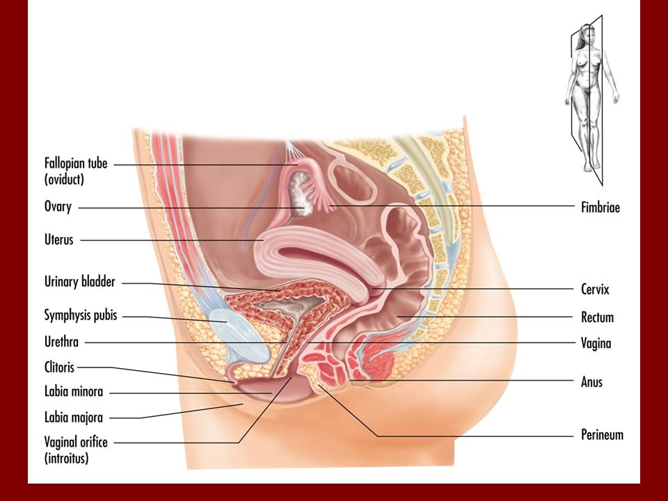 Sexual Anatomy and Disorders of Sexual Development - ppt video ...