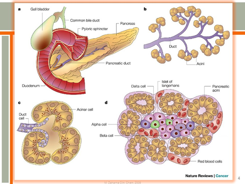 Pancreas is a large gland  Involved in the digestive process but ...
