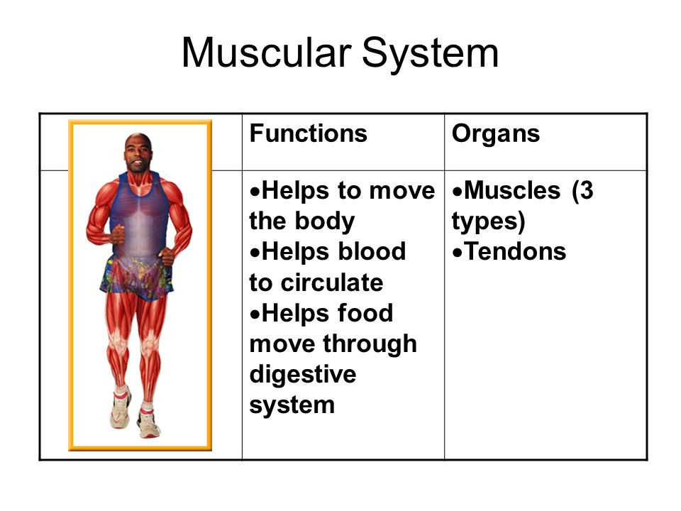 Lesson 7 Major Organ Systems Muscular System Muscle Tissue