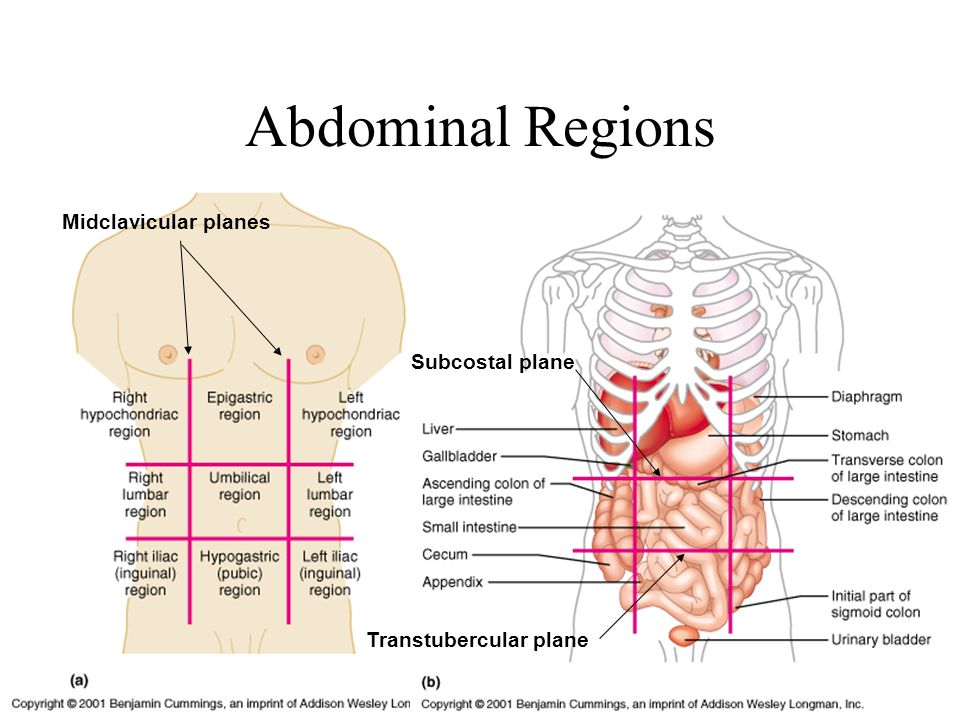 Abdominal Region I PA 481 Anatomy & Physiology Tony Serino, Ph.D ...