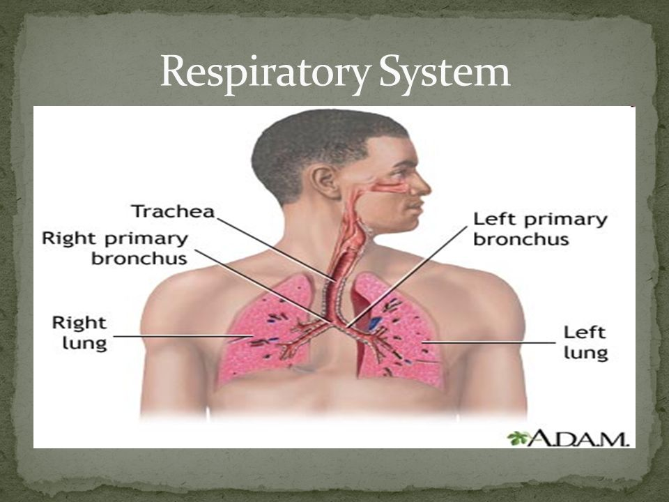 3 At this station you will: Learn the 2 main functions of the respiratory  system. Learn the main parts of the respiratory system. Learn about the  function ...