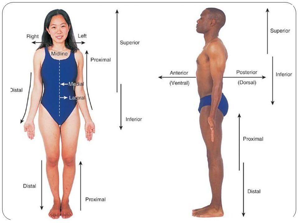The Animal Kingdom. Anatomical Positions ANTERIOR POSTERIOR DORSAL ...