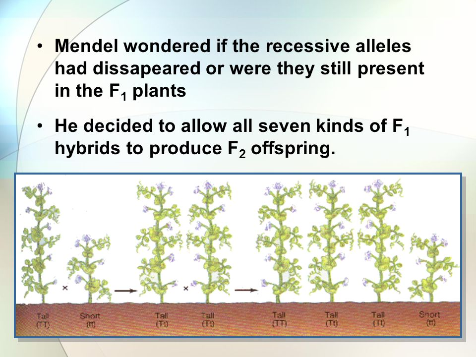 Mendel wondered if the recessive alleles had dissapeared or were they still present in the F 1 plants He decided to allow all seven kinds of F 1 hybrids to produce F 2 offspring.