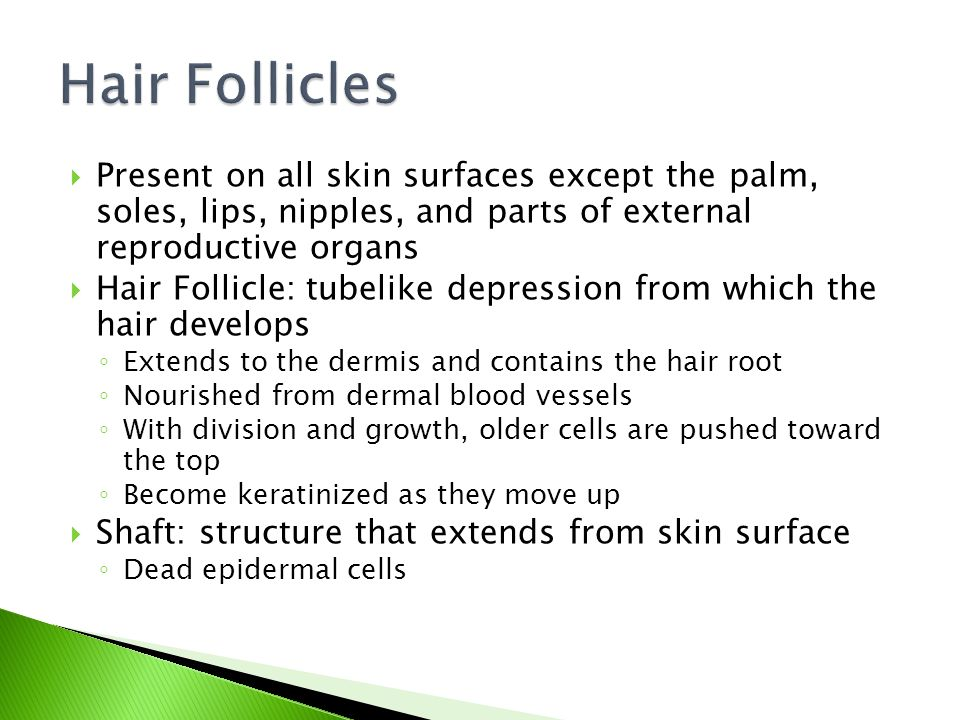  Present on all skin surfaces except the palm, soles, lips, nipples, and parts of external reproductive organs  Hair Follicle: tubelike depression from which the hair develops ◦ Extends to the dermis and contains the hair root ◦ Nourished from dermal blood vessels ◦ With division and growth, older cells are pushed toward the top ◦ Become keratinized as they move up  Shaft: structure that extends from skin surface ◦ Dead epidermal cells