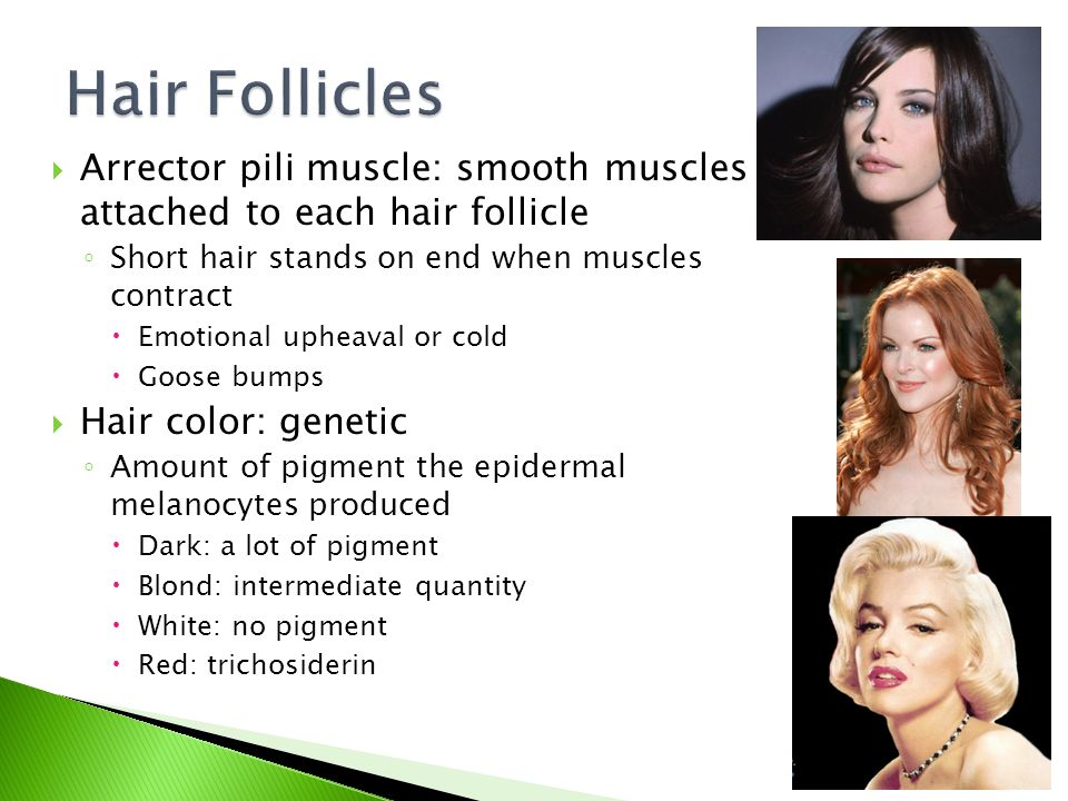  Arrector pili muscle: smooth muscles attached to each hair follicle ◦ Short hair stands on end when muscles contract  Emotional upheaval or cold  Goose bumps  Hair color: genetic ◦ Amount of pigment the epidermal melanocytes produced  Dark: a lot of pigment  Blond: intermediate quantity  White: no pigment  Red: trichosiderin