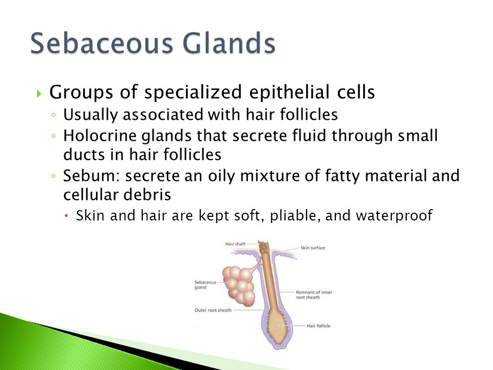  Groups of specialized epithelial cells ◦ Usually associated with hair follicles ◦ Holocrine glands that secrete fluid through small ducts in hair follicles ◦ Sebum: secrete an oily mixture of fatty material and cellular debris  Skin and hair are kept soft, pliable, and waterproof