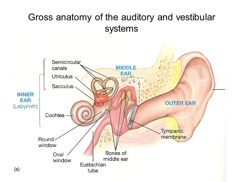 The Auditory System. Gross anatomy of the auditory and vestibular ...