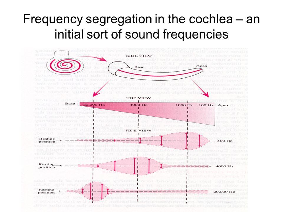 The Auditory System. Gross anatomy of the auditory and vestibular ...