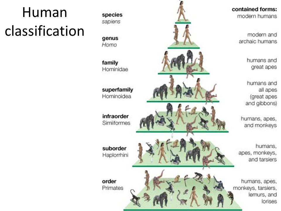 hominid evolution phylogenetic tree to show the place of the family