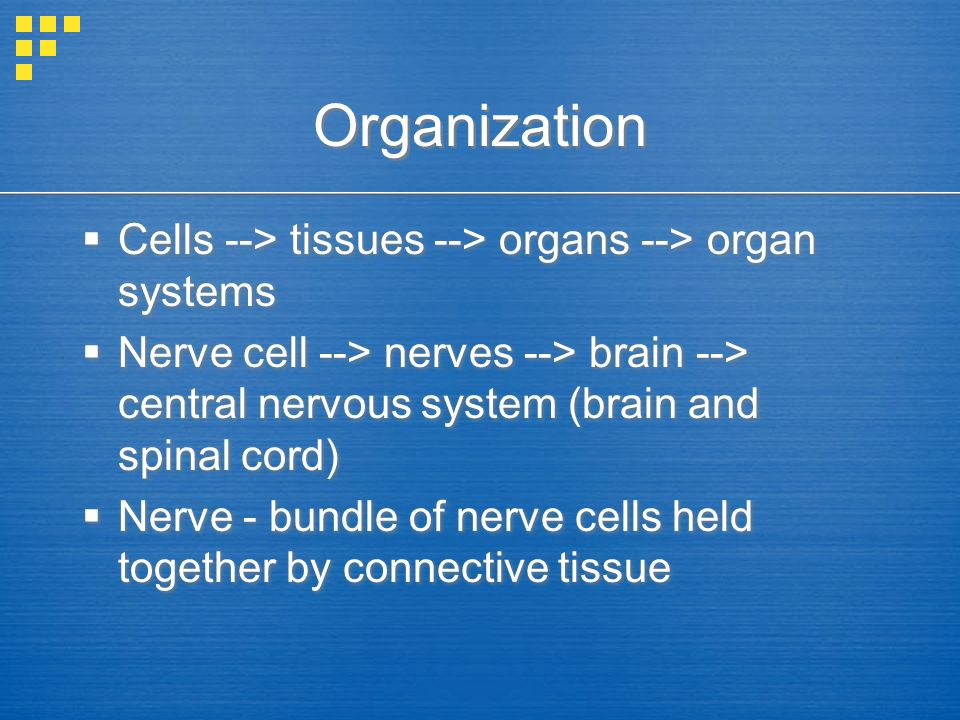 Organization  Cells --> tissues --> organs --> organ systems  Nerve cell --> nerves --> brain --> central nervous system (brain and spinal cord)  Nerve - bundle of nerve cells held together by connective tissue  Cells --> tissues --> organs --> organ systems  Nerve cell --> nerves --> brain --> central nervous system (brain and spinal cord)  Nerve - bundle of nerve cells held together by connective tissue