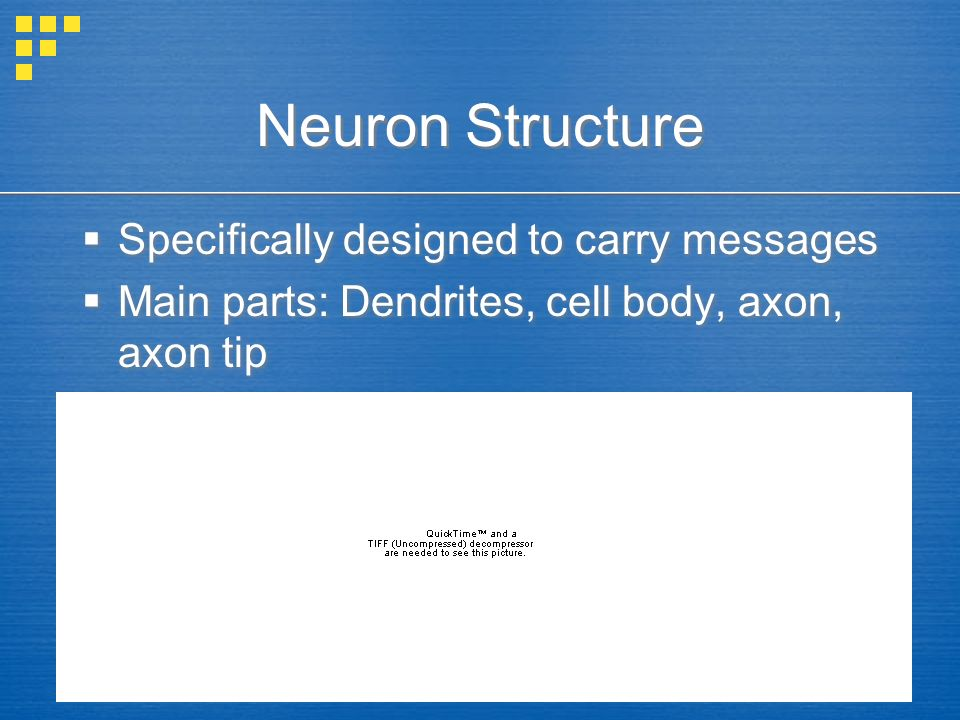Neuron Structure  Specifically designed to carry messages  Main parts: Dendrites, cell body, axon, axon tip  Specifically designed to carry messages  Main parts: Dendrites, cell body, axon, axon tip