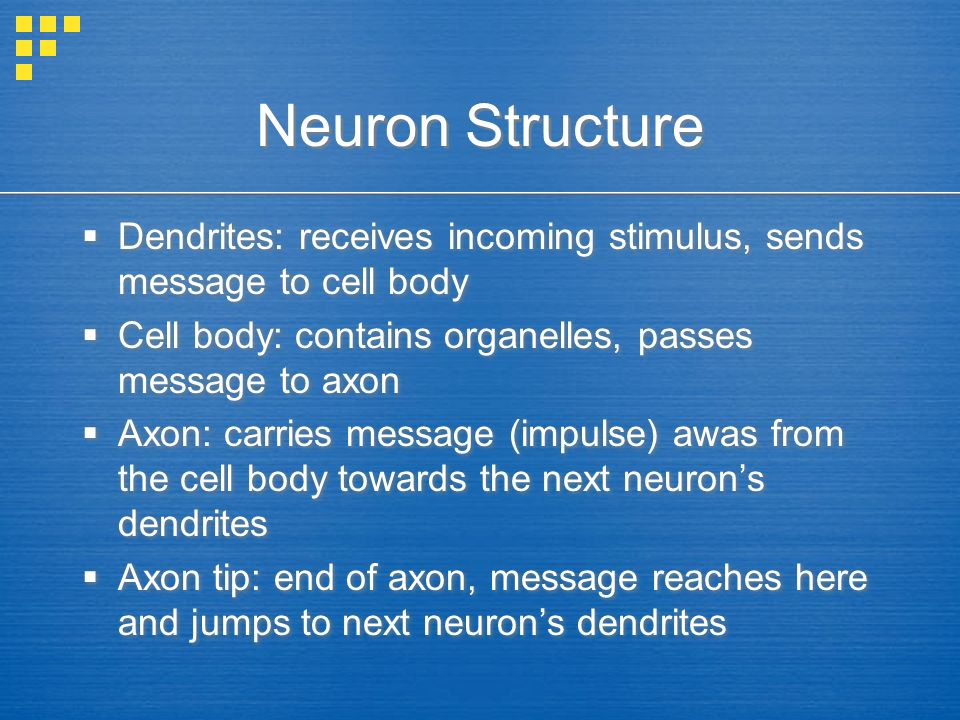 Neuron Structure  Dendrites: receives incoming stimulus, sends message to cell body  Cell body: contains organelles, passes message to axon  Axon: carries message (impulse) awas from the cell body towards the next neuron's dendrites  Axon tip: end of axon, message reaches here and jumps to next neuron's dendrites  Dendrites: receives incoming stimulus, sends message to cell body  Cell body: contains organelles, passes message to axon  Axon: carries message (impulse) awas from the cell body towards the next neuron's dendrites  Axon tip: end of axon, message reaches here and jumps to next neuron's dendrites
