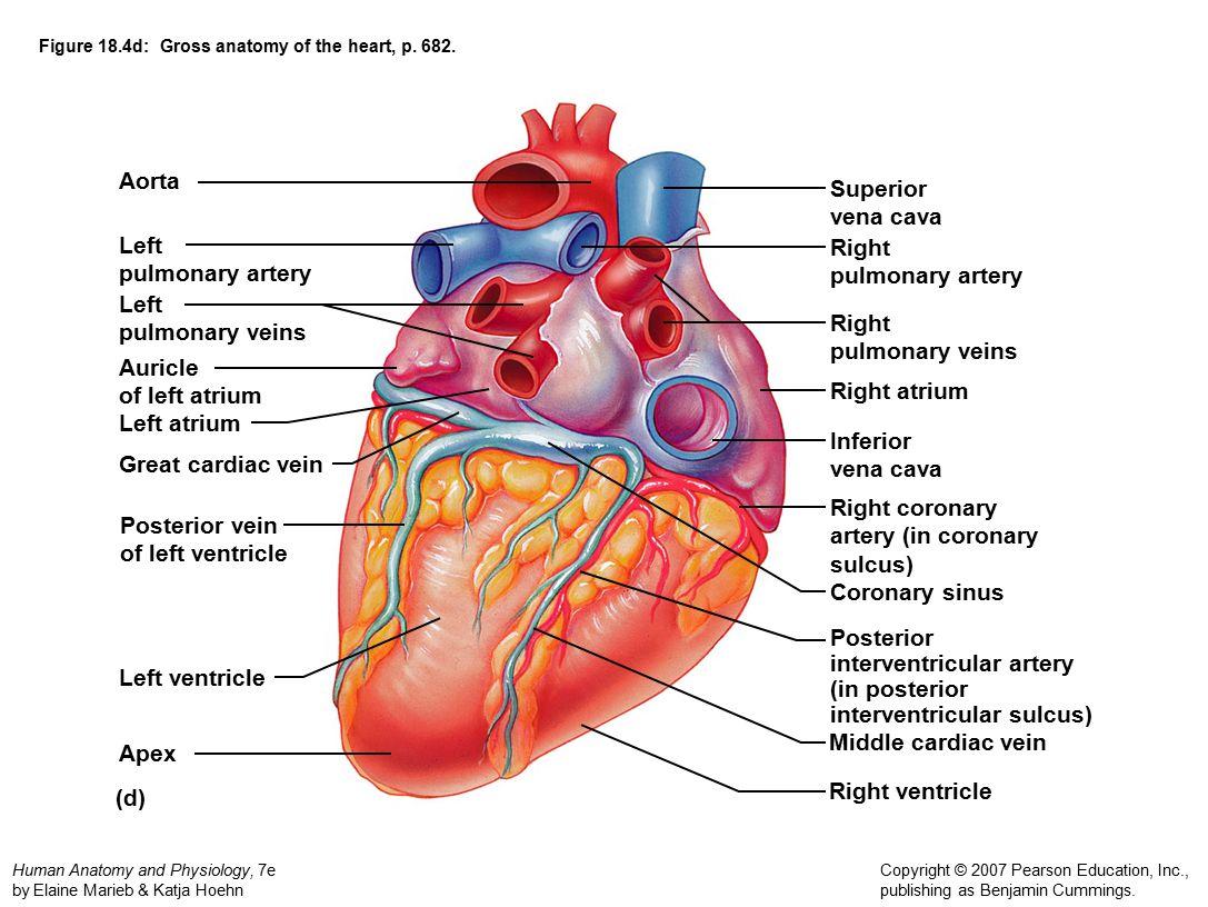Heart Diagrams Marieb - DIY Enthusiasts Wiring Diagrams •