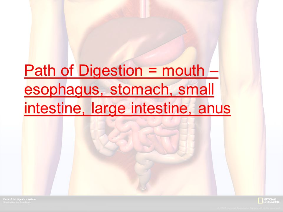 Path of Digestion = mouth – esophagus, stomach, small intestine, large intestine, anus