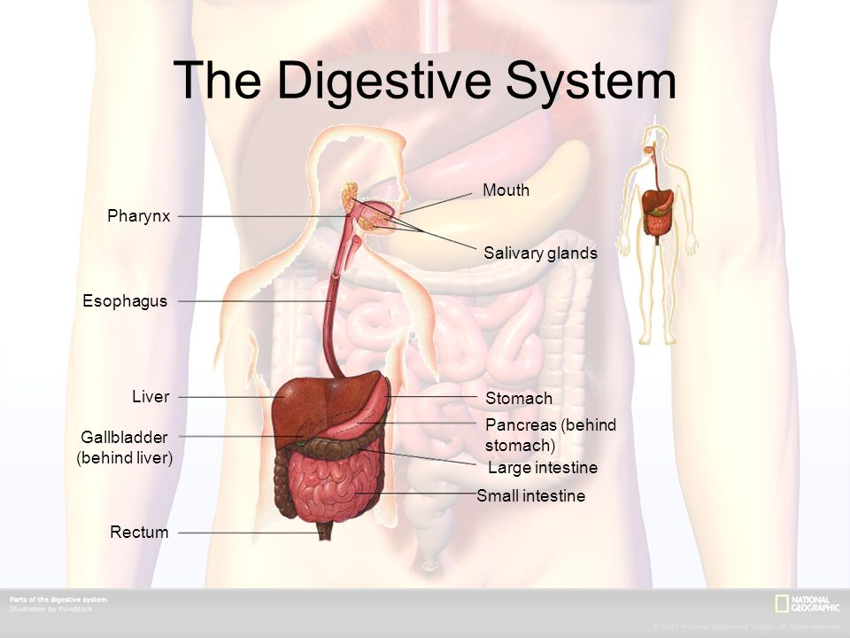 The Digestive System Mouth Salivary glands Stomach Pancreas (behind stomach) Large intestine Small intestine Rectum Gallbladder (behind liver) Liver Esophagus Pharynx