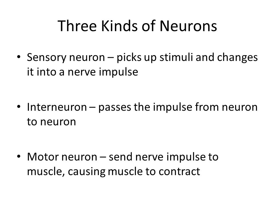 Three Kinds of Neurons Sensory neuron – picks up stimuli and changes it into a nerve impulse Interneuron – passes the impulse from neuron to neuron Motor neuron – send nerve impulse to muscle, causing muscle to contract