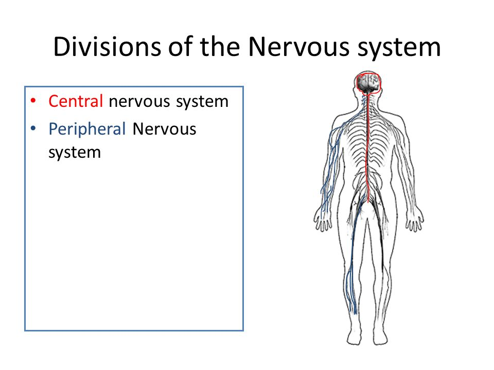 Divisions of the Nervous system Central nervous system Peripheral Nervous system