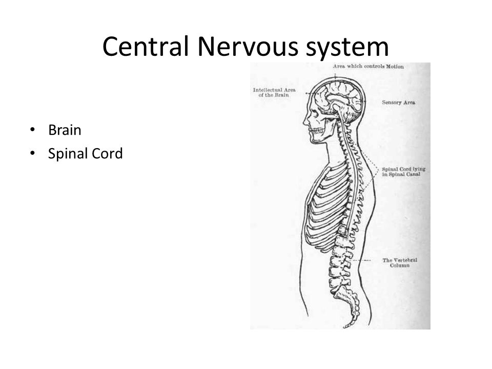 Central Nervous system Brain Spinal Cord