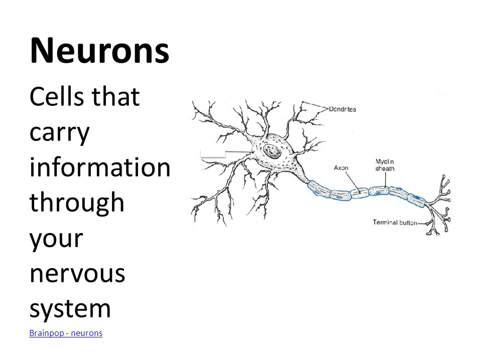 Neurons Cells that carry information through your nervous system Brainpop - neurons