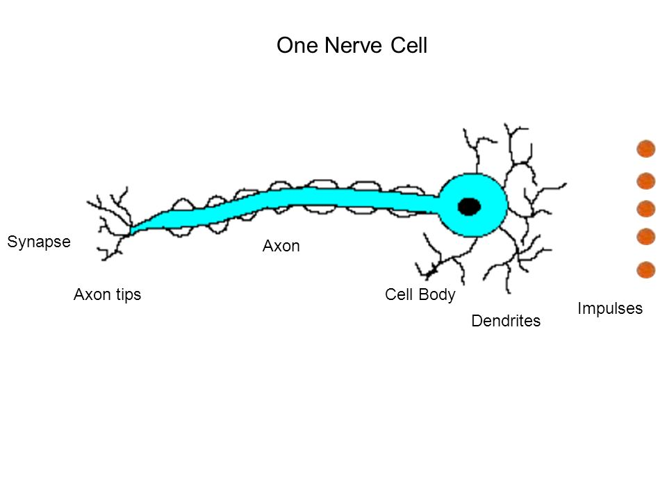 Dendrites Cell Body Impulses Axon Axon tips One Nerve Cell Synapse
